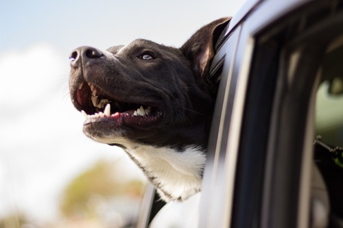 pixabay-cachorro-no-carro-dog-1149964_1920