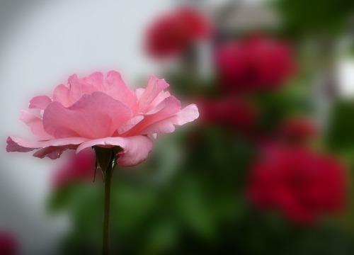 PIxabay Rosa 3 rose-bloom-2445089_1920
